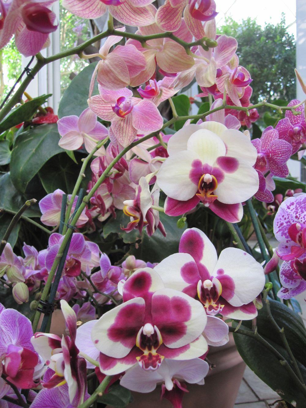 adelaparvu.com despre tratamentul pentru orhideea cu radacini putrezite si frunze ingalbenite, Text Carli Marian (4)