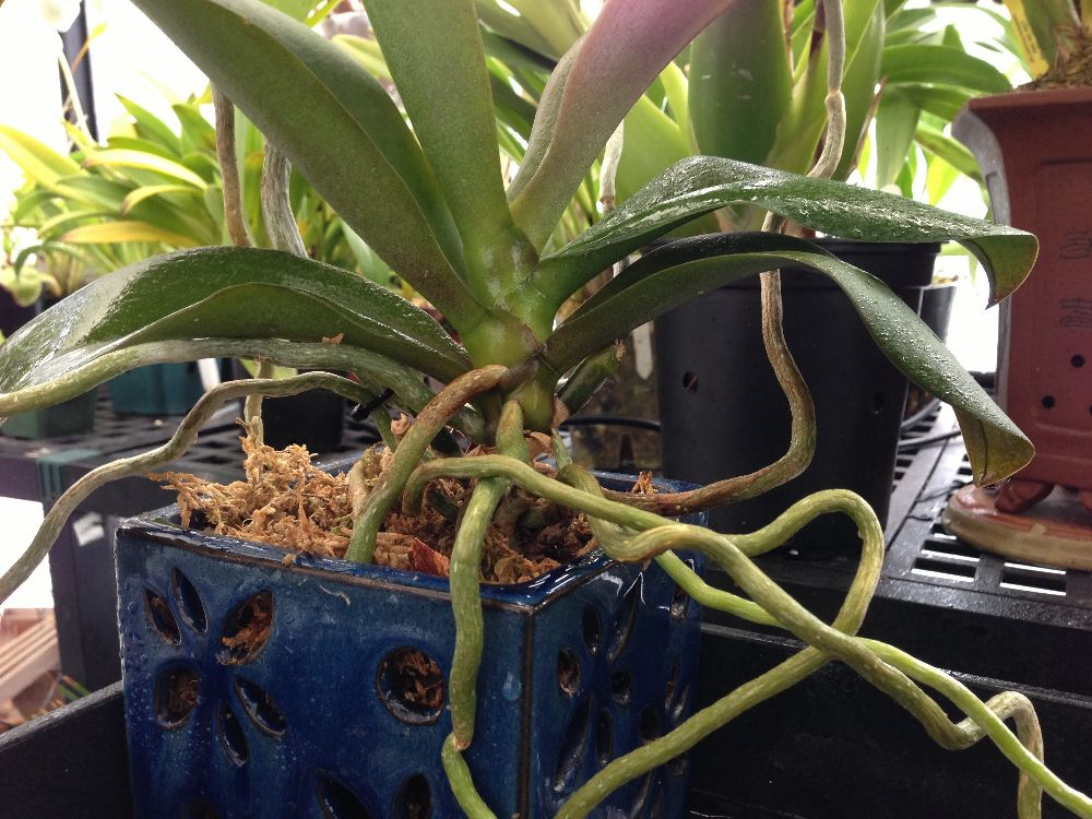 adelaparvu.com despre tratamentul pentru orhideea cu radacini putrezite si frunze ingalbenite, Text Carli Marian (5)