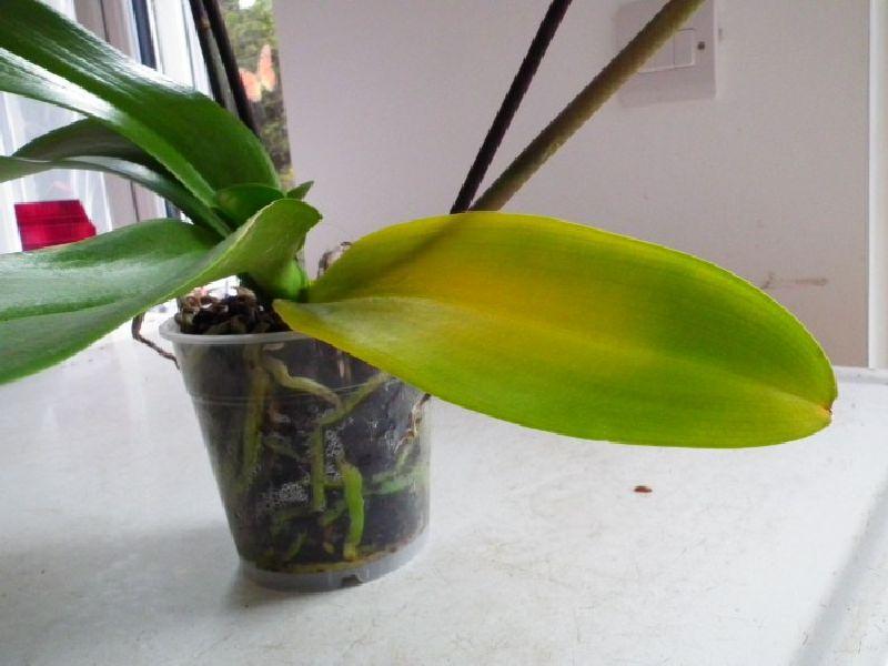 adelaparvu.com despre tratamentul pentru orhideea cu radacini putrezite si frunze ingalbenite, Text Carli Marian (8)