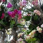 adelaparvu.com despre tratamentul pentru orhideea cu radacini putrezite si frunze ingalbenite, Text Carli Marian (9)