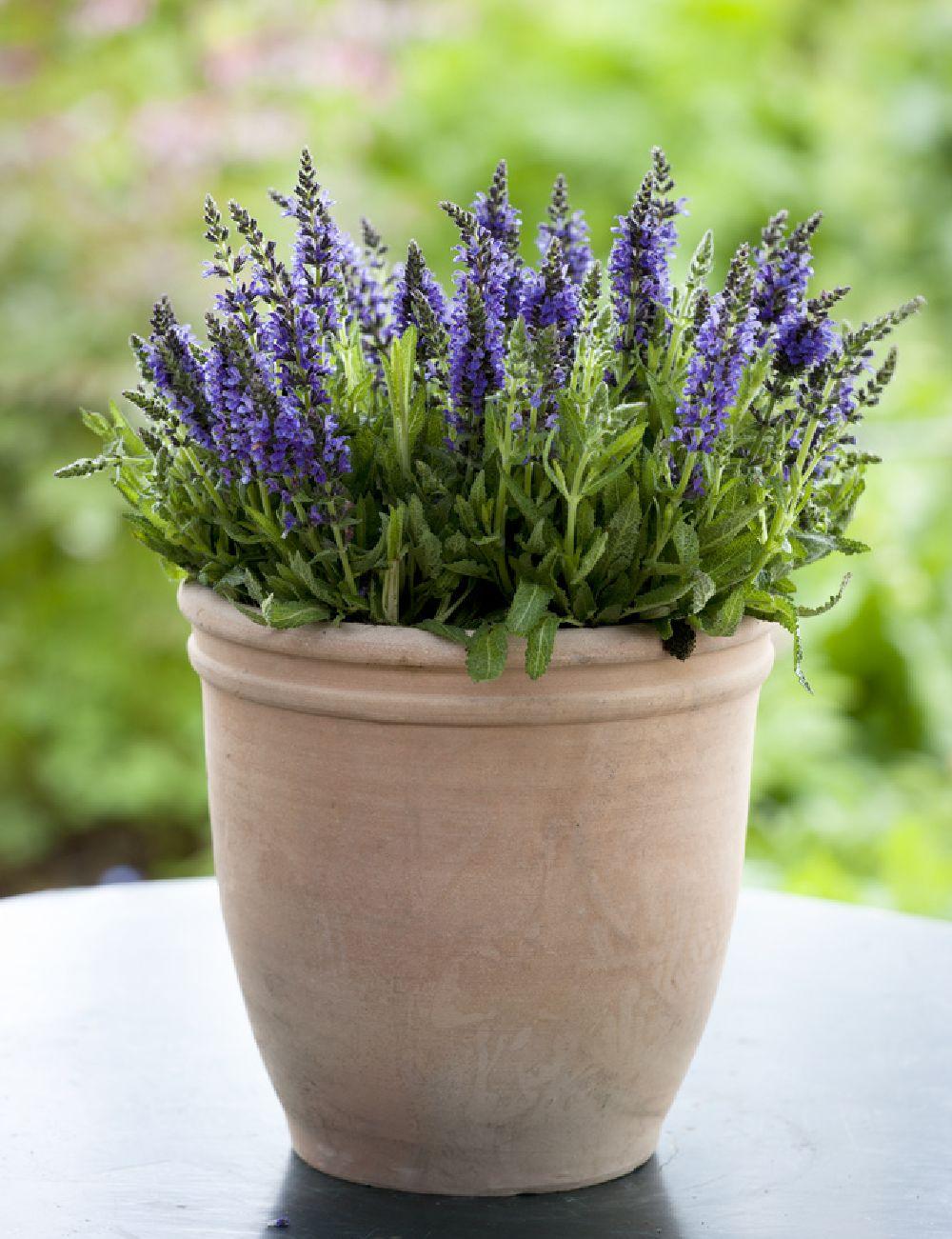 Salvia la ghiveci, Foto Floradania