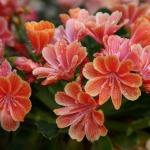 adelaparvu.com despre Lewisia cotyledon,planta cu flori colorate, Text Carli Marian (1)
