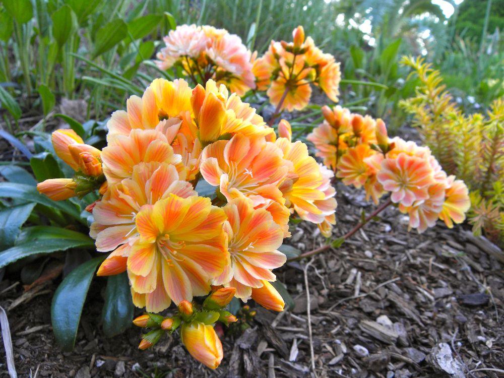 adelaparvu.com despre Lewisia cotyledon,planta cu flori colorate, Text Carli Marian (2)