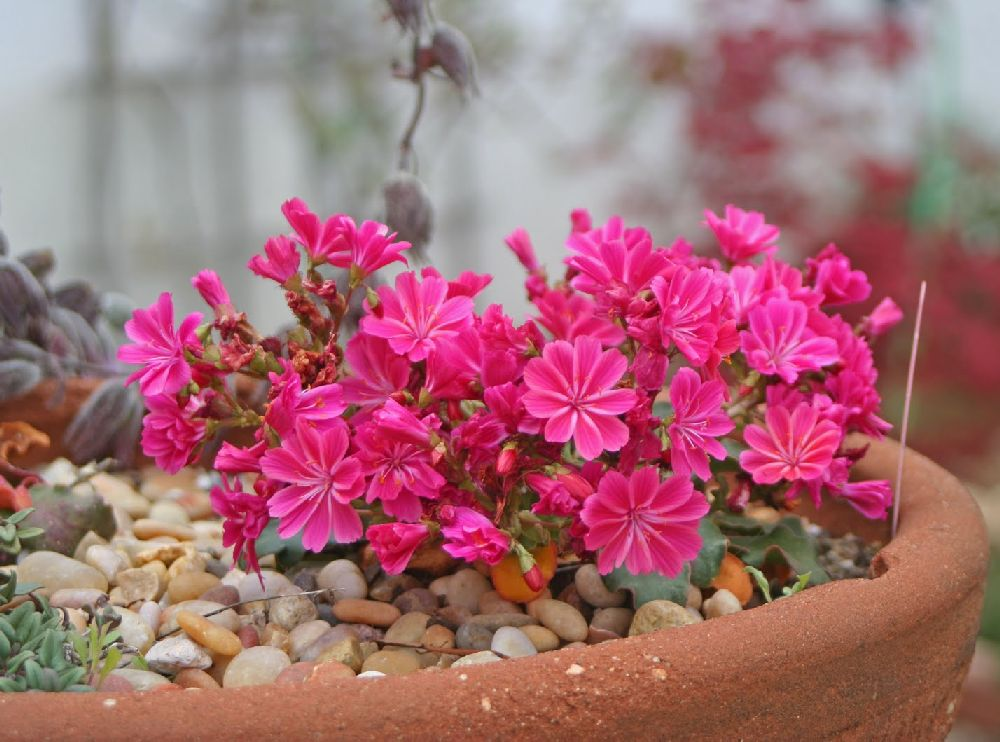 adelaparvu.com despre Lewisia cotyledon,planta cu flori colorate, Text Carli Marian (3)