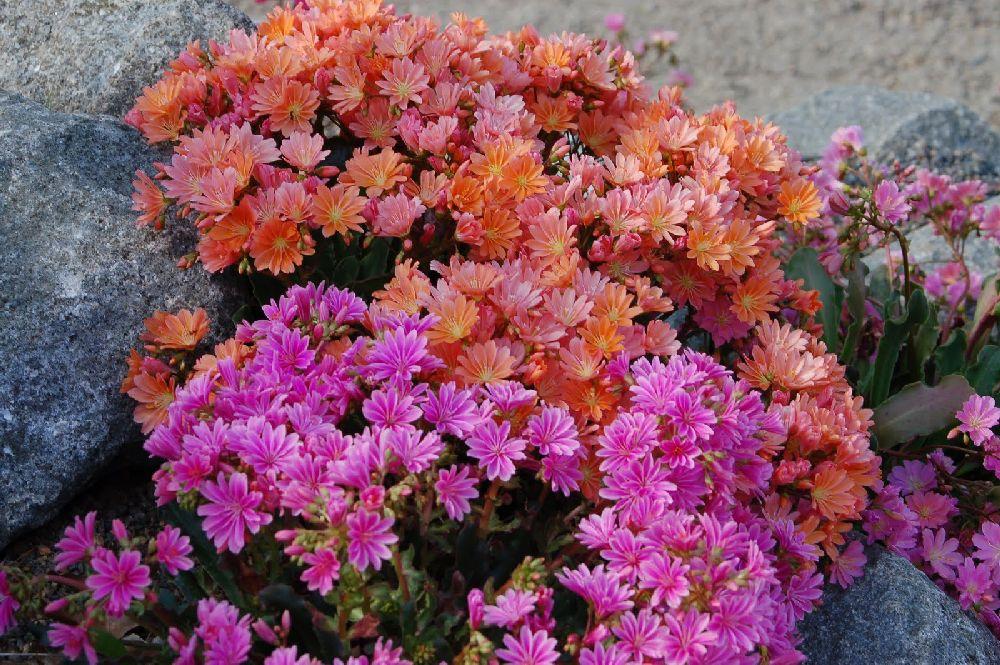 adelaparvu.com despre Lewisia cotyledon,planta cu flori colorate, Text Carli Marian (4)