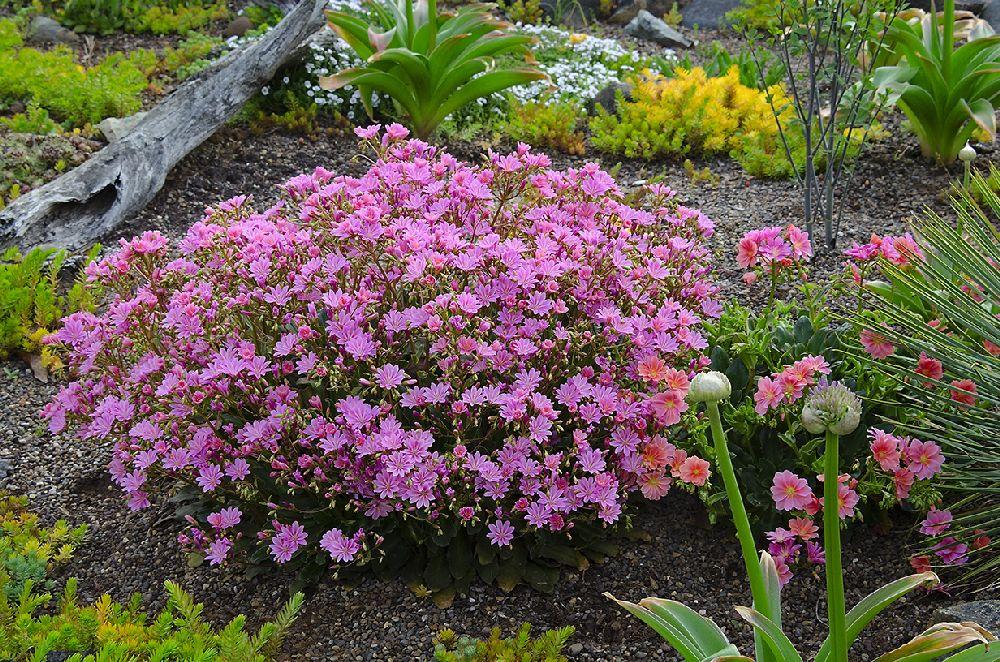 adelaparvu.com despre Lewisia cotyledon,planta cu flori colorate, Text Carli Marian (5)