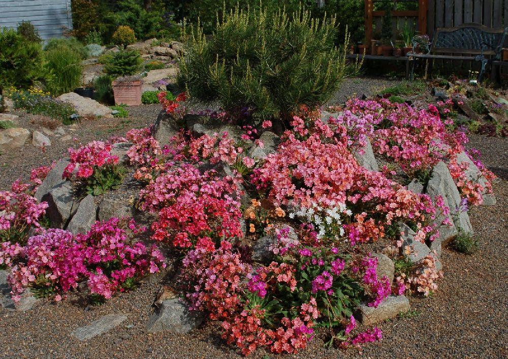 adelaparvu.com despre Lewisia cotyledon,planta cu flori colorate, Text Carli Marian (6)