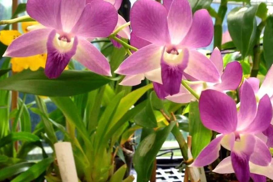 adelaparvu.com despre inmultirea orhideei Phalaenopsis, text Carli Marian(3)