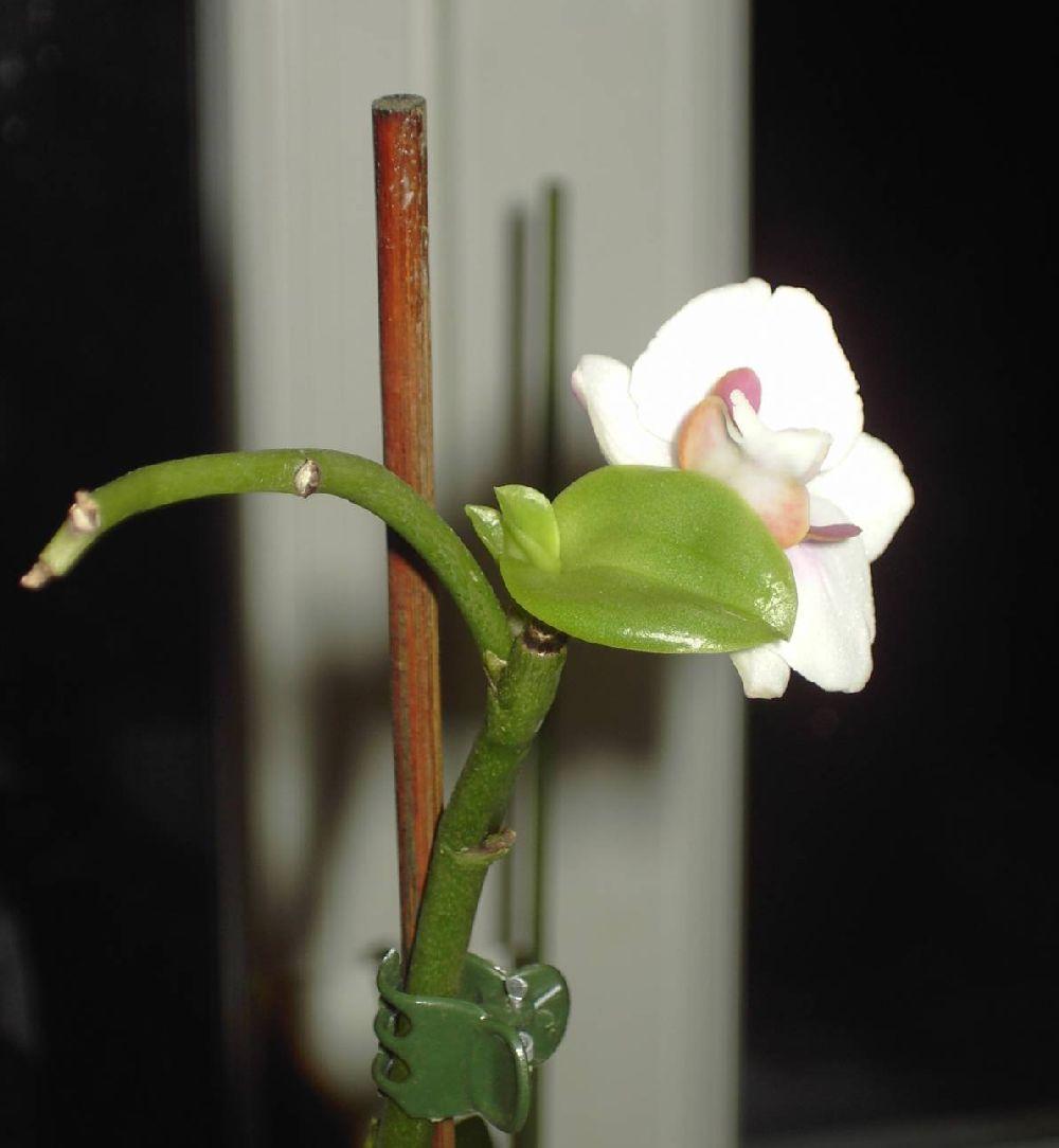 adelaparvu.com despre inmultirea orhideei Phalaenopsis, text Carli Marian