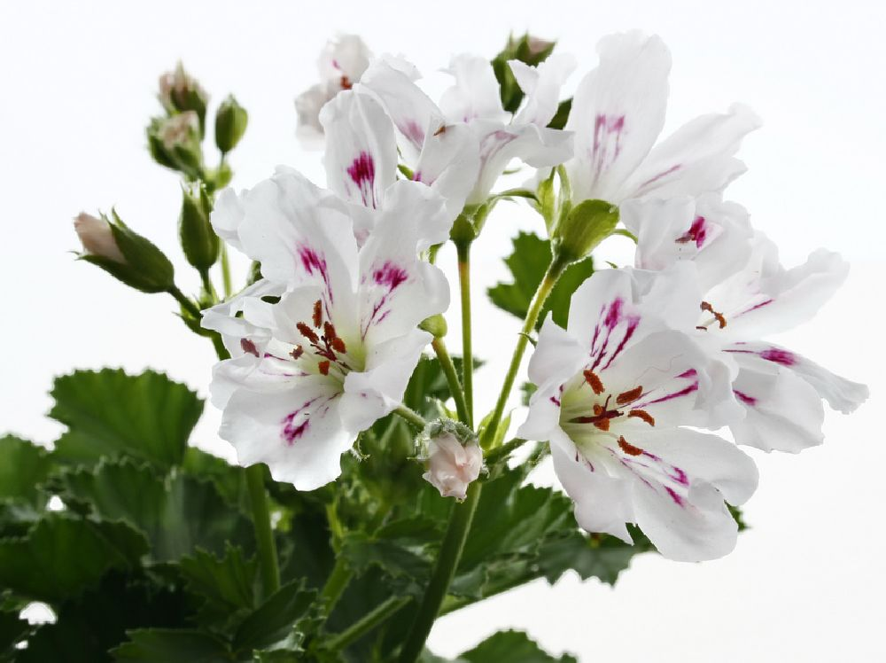 Pelargonium grandiflorum Tip Top