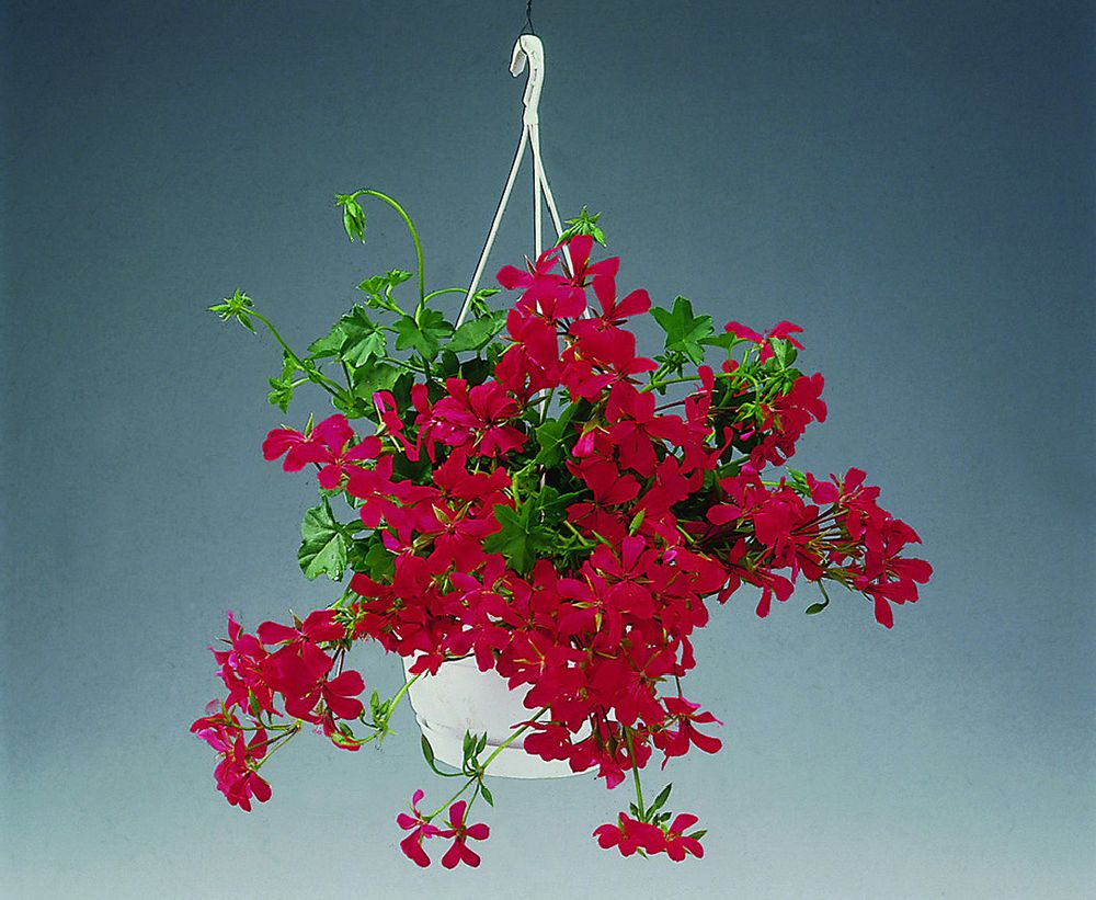 Pelargonium peltatum
