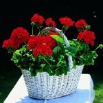 Pelargonium zonale-hybrid