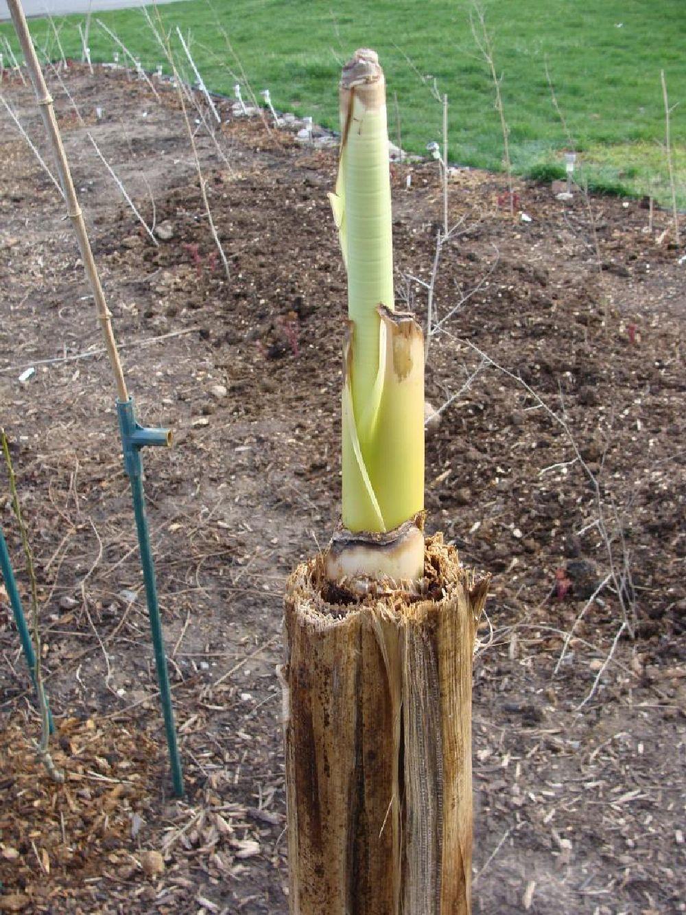 adelaparvu.com despre bananier plantat in Romania, Text Carli Marian, in Foto bananier Musa basjoo (8)