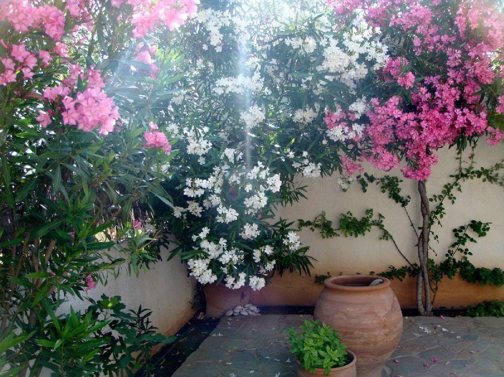 adelaparvu.com despre Nerium Oleander, leandrul potrivit in gradina si pe balcon, Text Carli Marian (11)