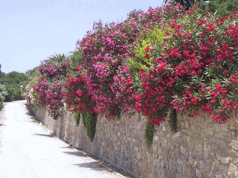 adelaparvu.com despre Nerium Oleander, leandrul potrivit in gradina si pe balcon, Text Carli Marian (14)
