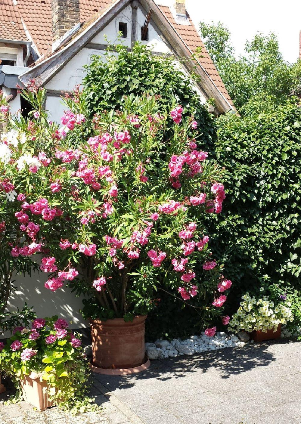 adelaparvu.com despre Nerium Oleander, leandrul potrivit in gradina si pe balcon, Text Carli Marian (17)