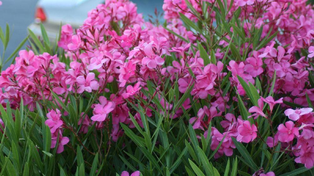 adelaparvu.com despre Nerium Oleander, leandrul potrivit in gradina si pe balcon, Text Carli Marian (19)