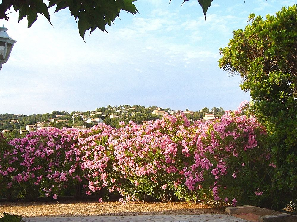 adelaparvu.com despre Nerium Oleander, leandrul potrivit in gradina si pe balcon, Text Carli Marian (4)