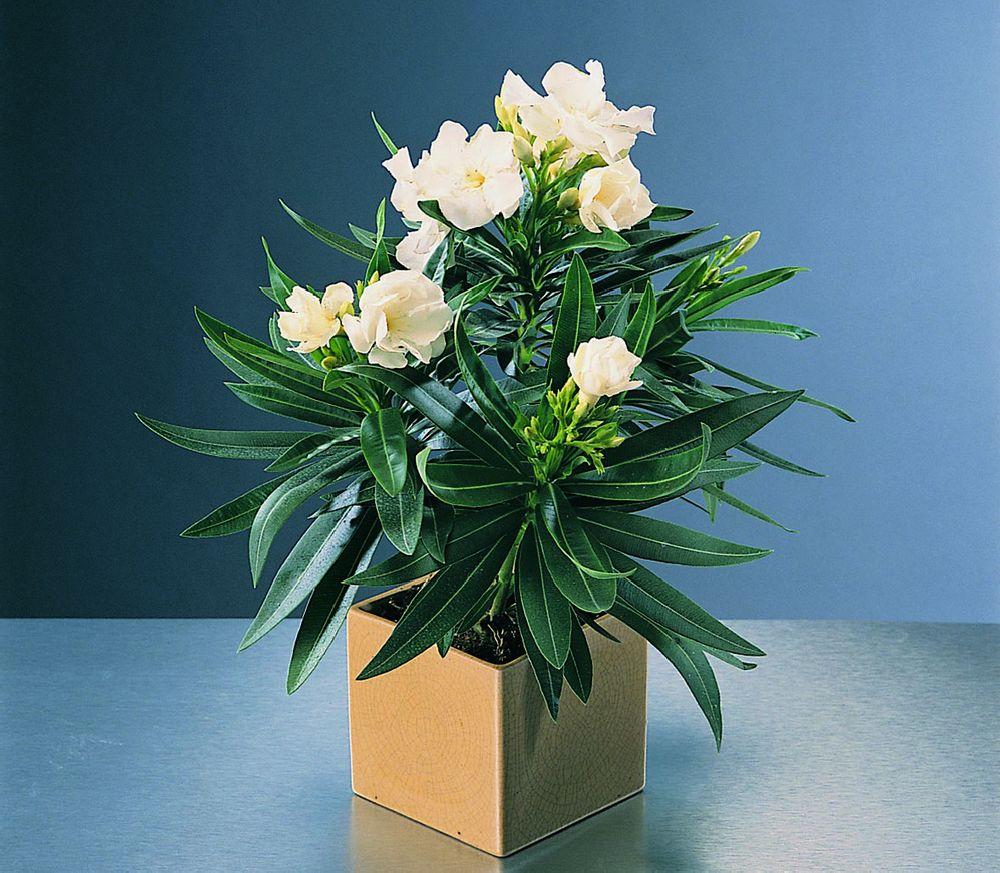adelaparvu.com despre Nerium Oleander, leandrul potrivit in gradina si pe balcon, Text Carli Marian (7)