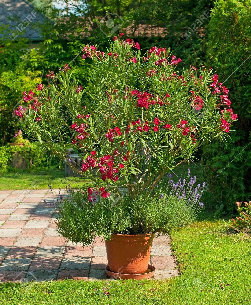 adelaparvu.com despre Nerium Oleander, leandrul potrivit in gradina si pe balcon, Text Carli Marian (8)