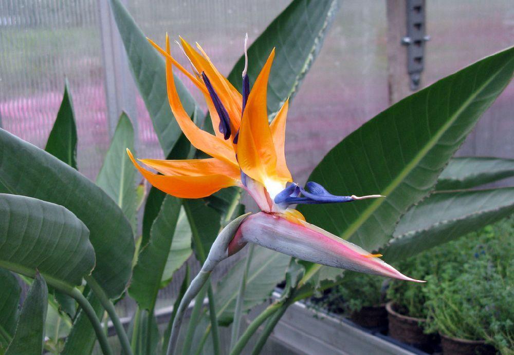 adelaparvu.com despre Strelitzia Reginae la ghiveci si in gradina, Text Carli Marian, Foto Ganim's Garden Center