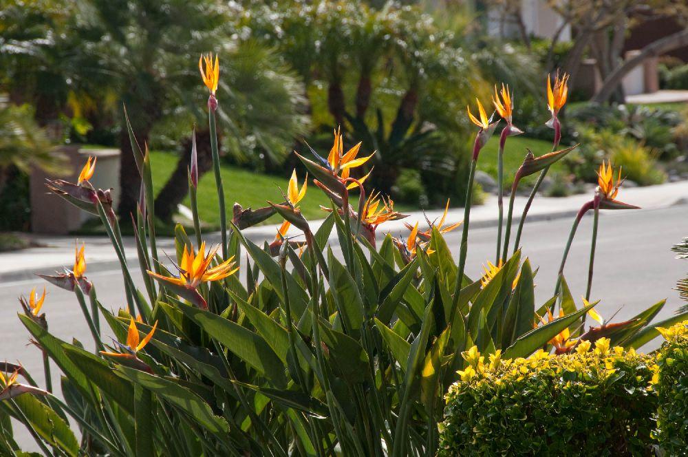 adelaparvu.com despre Strelitzia Reginae la ghiveci si in gradina, Text Carli Marian, Foto plantsandtreesonline.co.uk Foto