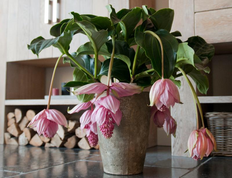 adelaparvu.com despre planta Medinilla magnifica, Text Carli Marian (1)