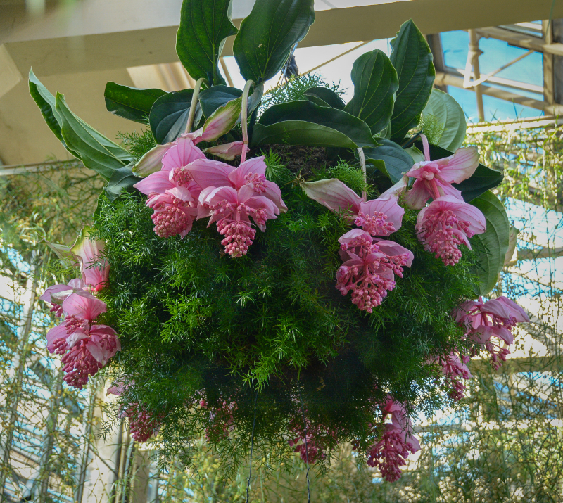 adelaparvu.com despre planta Medinilla magnifica, Text Carli Marian (3)