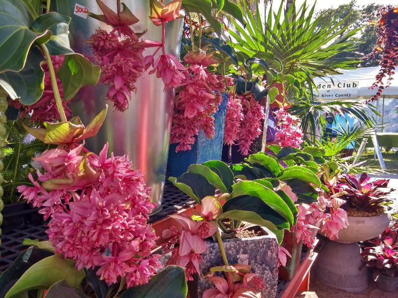 adelaparvu.com despre planta Medinilla magnifica, Text Carli Marian (4)