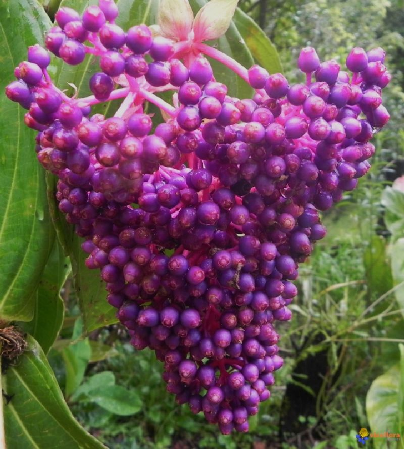 adelaparvu.com despre planta Medinilla magnifica, Text Carli Marian (5)