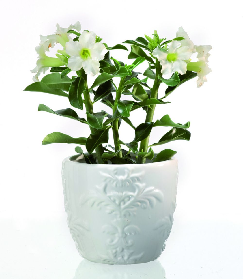 adelaparvu.com despre plante la ghiveci deosebite, Text Carli Marian, In foto Adenium obesum, Foto Floradania (1)