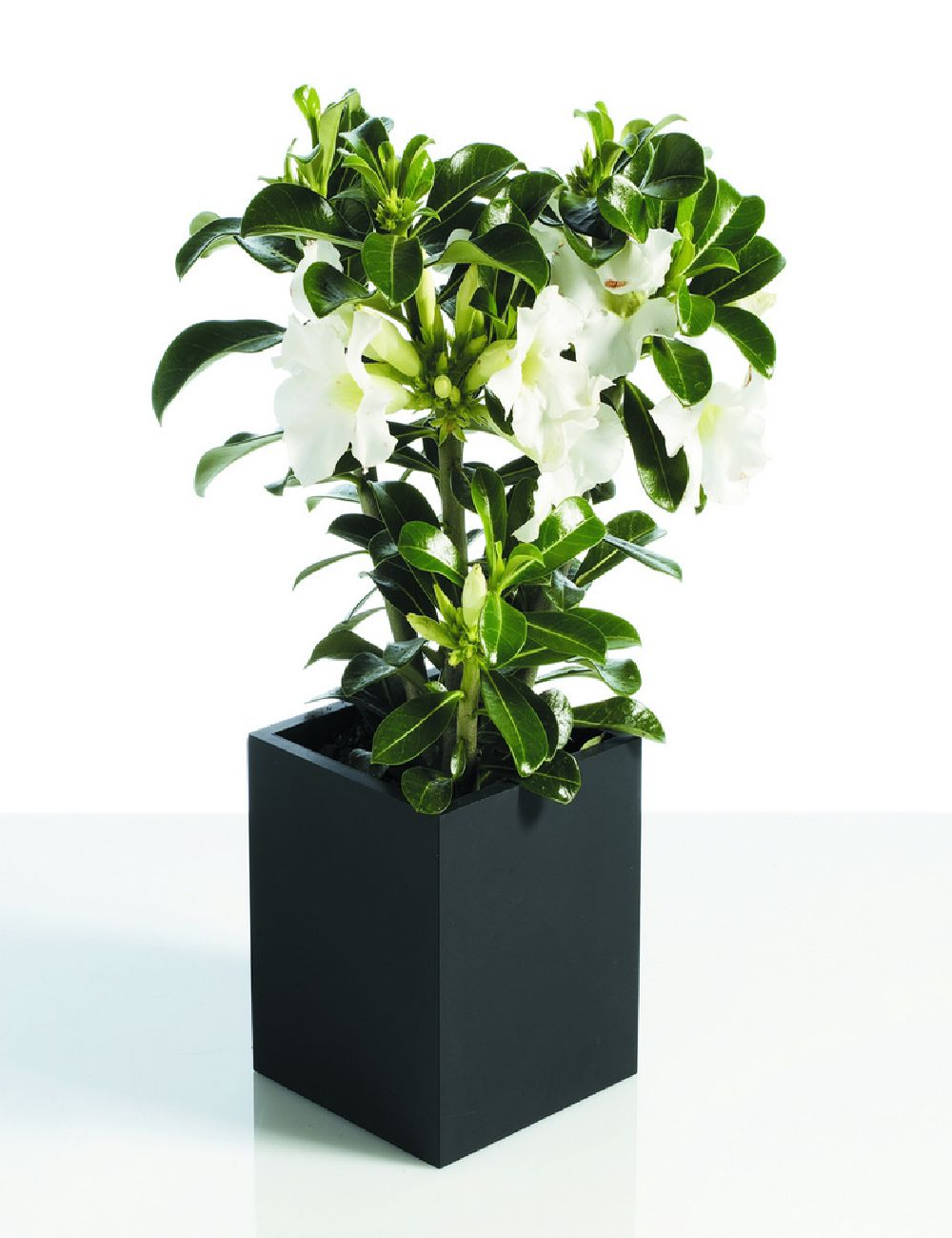 adelaparvu.com despre plante la ghiveci deosebite, Text Carli Marian, In foto Adenium obesum, Foto Floradania (2)
