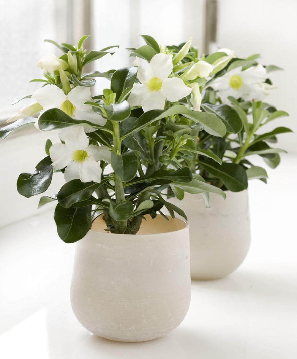 adelaparvu.com despre plante la ghiveci deosebite, Text Carli Marian, In foto Adenium obesum, Foto Floradania (3)