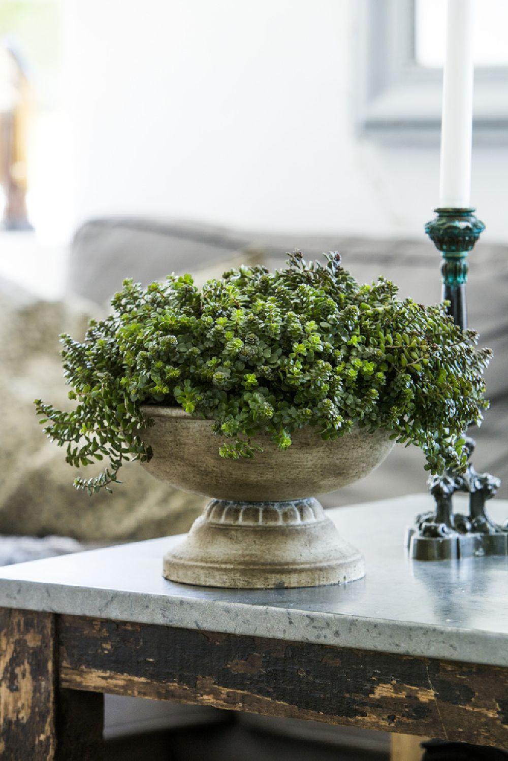 adelaparvu.com despre plante la ghiveci deosebite, Text Carli Marian, In foto Sedum makinoi, Foto Floradania (3)
