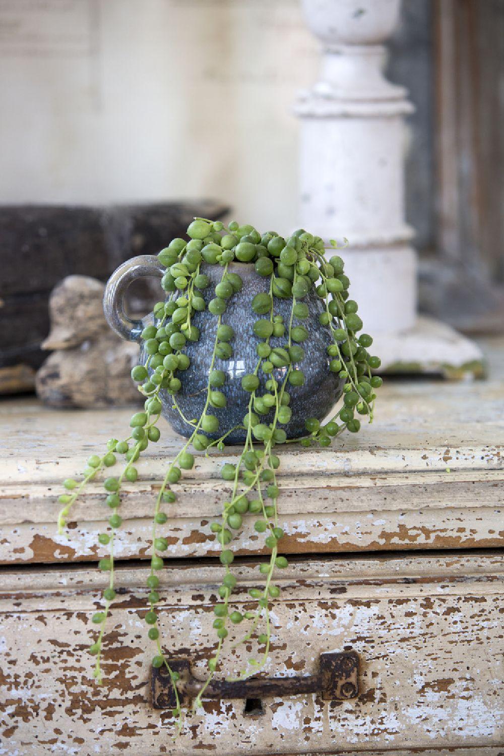 adelaparvu.com despre plante la ghiveci deosebite, Text Carli Marian, In foto Senecio herreanus, Foto Floradania (1)