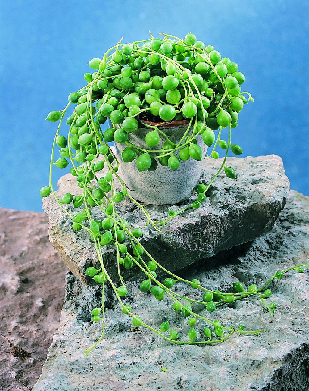 adelaparvu.com despre plante la ghiveci deosebite, Text Carli Marian, In foto Senecio herreanus, Foto Floradania (4)