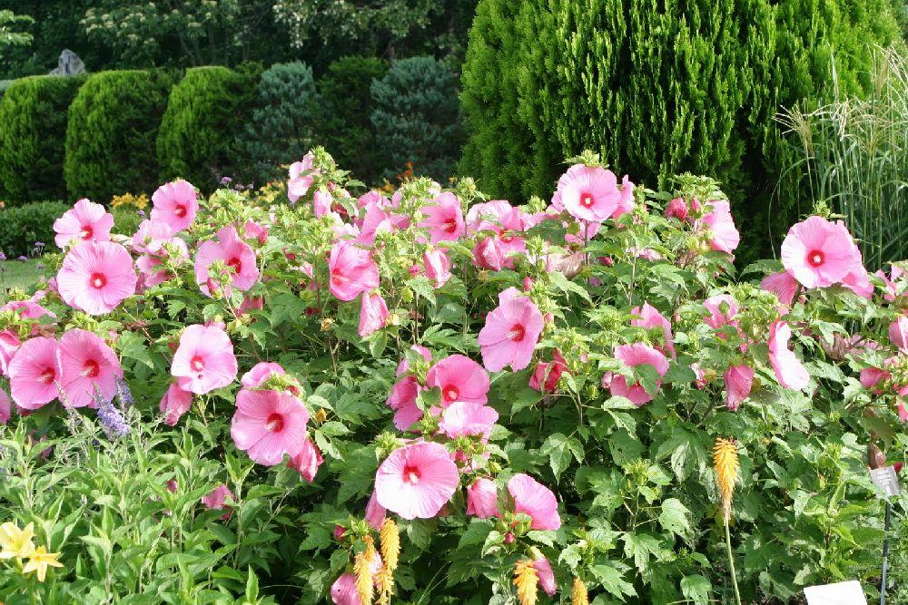 Gard din Hibiscus inflorit, Foto PowellGardens
