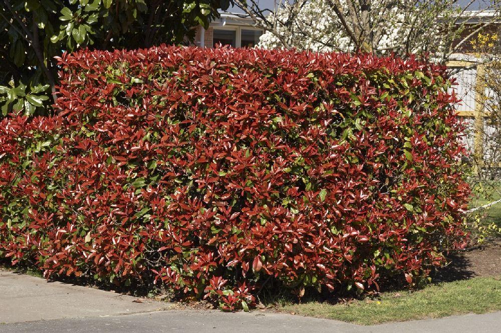 Gard din Photinia, Foto monrovia.com