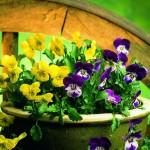 adelaparvu.com despre plantarea panselutelor in noiembrie, Text Carli Marian, Foto Floradania (2)