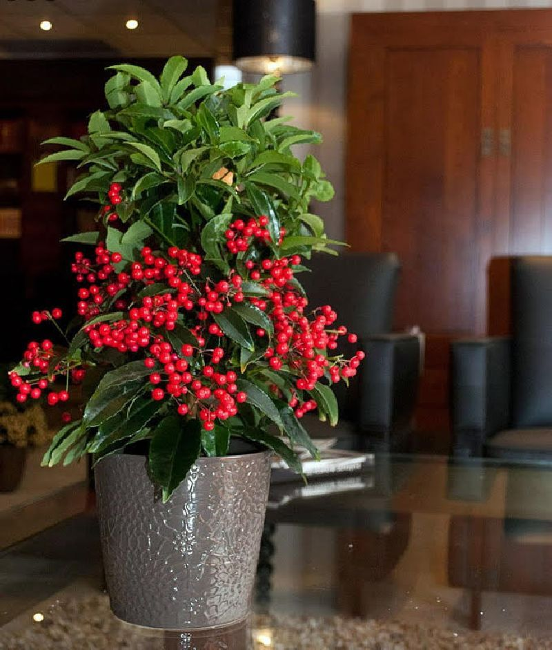 adelaparvu.com despre Ardisia, planta care face fructe de Craciun, Text Carli Marian, Foto Ardisia.com Foto (4)