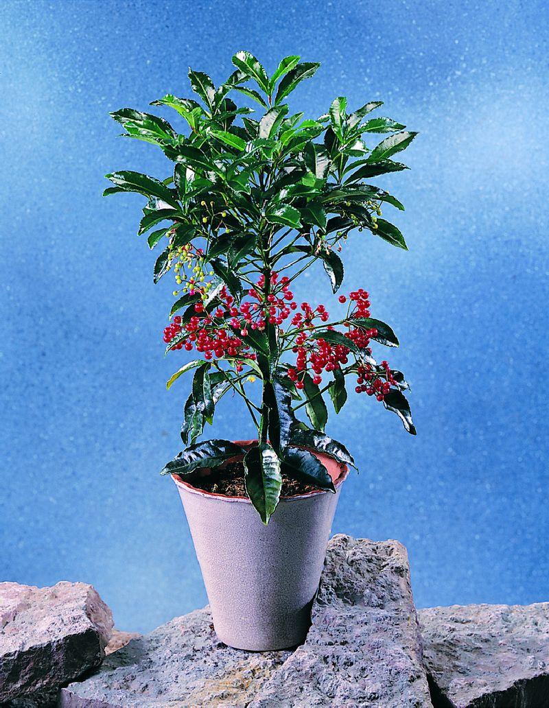 adelaparvu.com despre Ardisia, planta care face fructe de Craciun, Text Carli Marian, Foto Floradania (1)