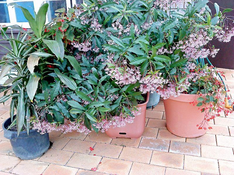 adelaparvu.com despre Ardisia, planta care face fructe de Craciun, Text Carli Marian, Foto tropicalrobin.blogspot Blog (3)