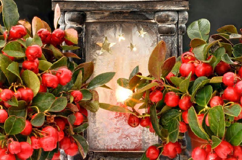 adelaparvu.com despre Gaultheria procumbens, Text Carli Marian, Foto Floradania (10)