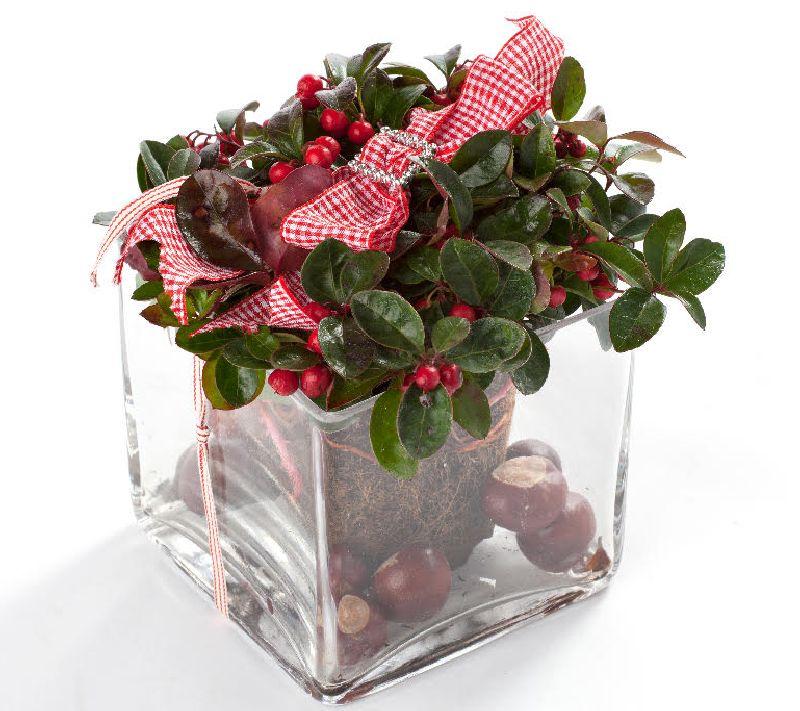 adelaparvu.com despre Gaultheria procumbens, Text Carli Marian, Foto Floradania (13)