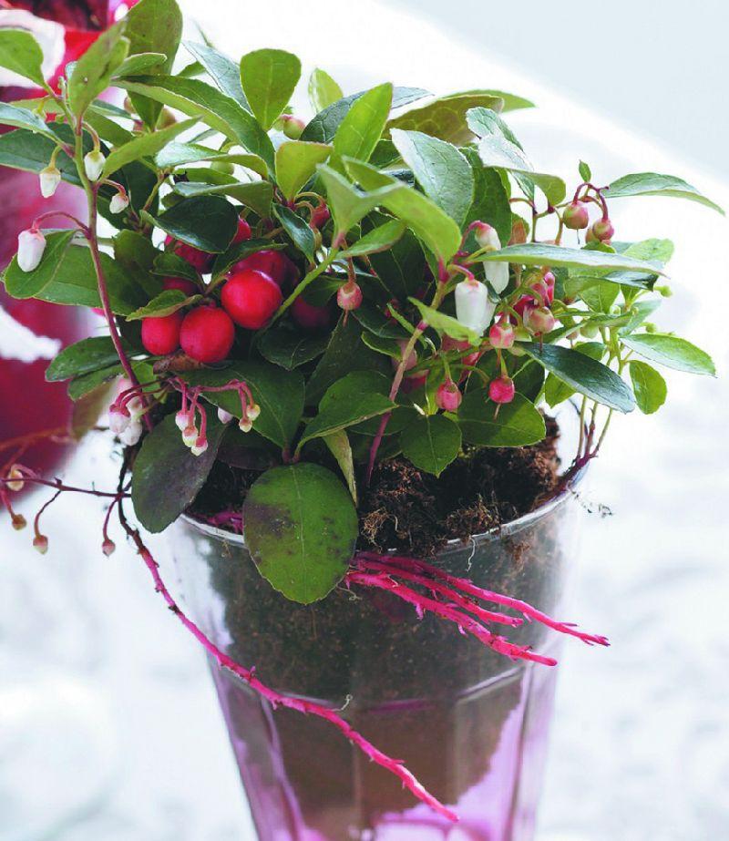 adelaparvu.com despre Gaultheria procumbens, Text Carli Marian, Foto Floradania (4)