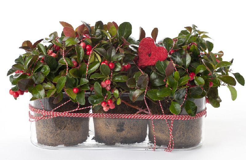 adelaparvu.com despre Gaultheria procumbens, Text Carli Marian, Foto Floradania (5)