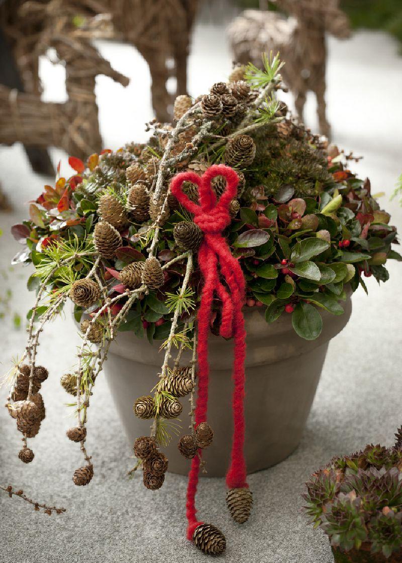 adelaparvu.com despre Gaultheria procumbens, Text Carli Marian, Foto Floradania (6)