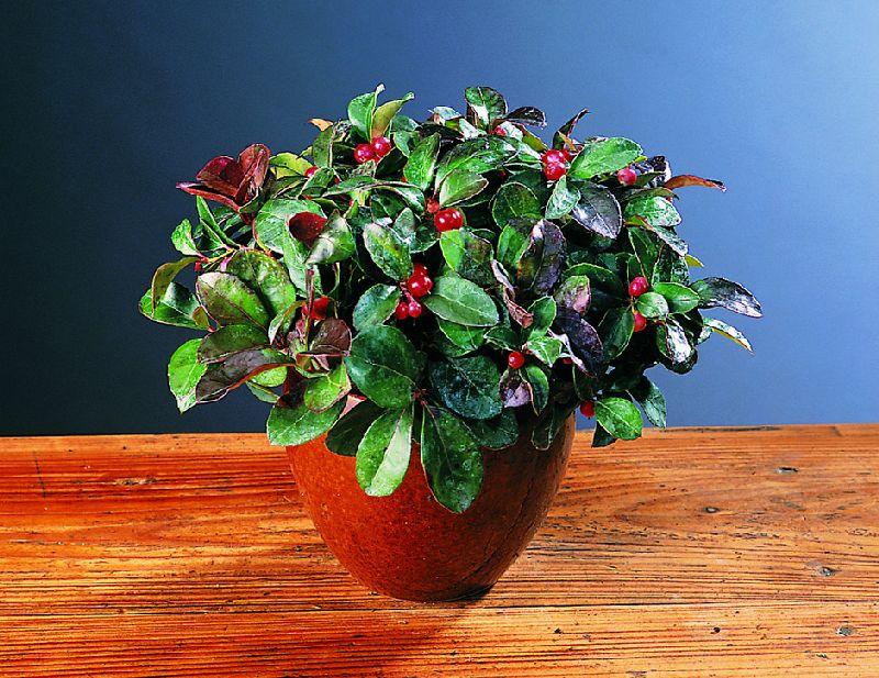 adelaparvu.com despre Gaultheria procumbens, Text Carli Marian, Foto Floradania (7)