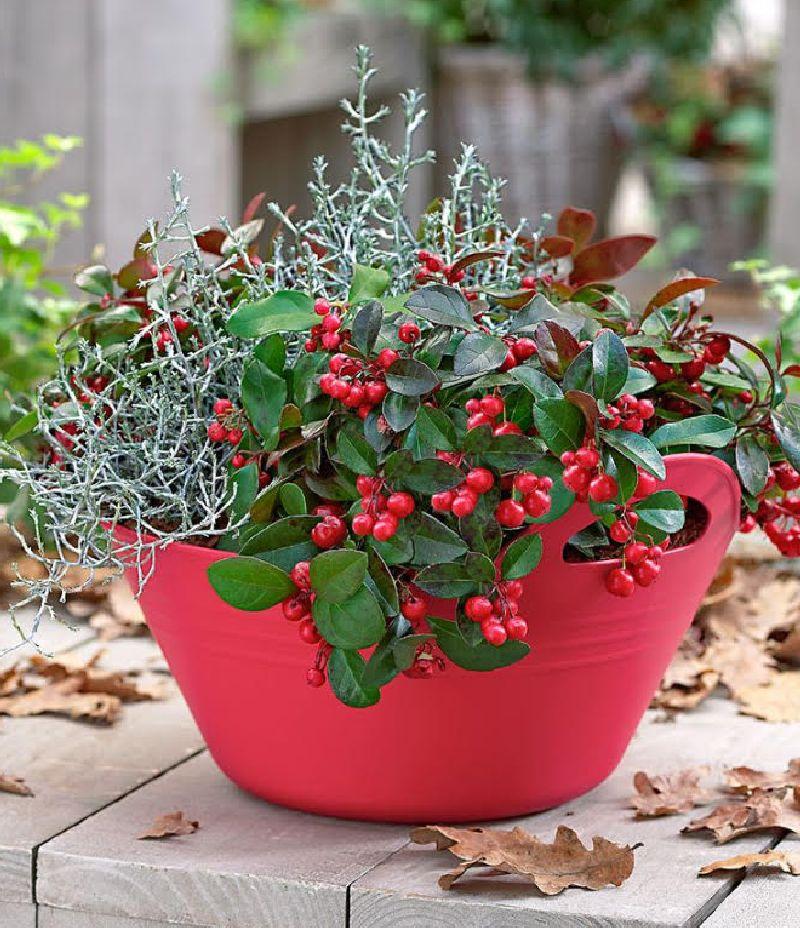 adelaparvu.com despre Gaultheria procumbens, Text Carli Marian, Foto Floradania (9)
