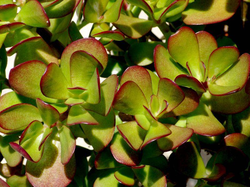 adelaparvu.com despre Crassula ovata, arborele de jad sau planta norocoasa, Text Carli Marian (11)